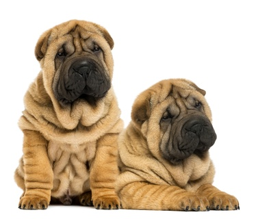 Two Shar pei puppies sitting and lying next to each other, isolated on white